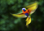Australian Open Metal Prints - Dancing Rainbow Lorikeet 7 Metal Print by Heng Tan