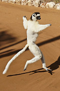 Michele Burgess - Dancing Sifaka 2