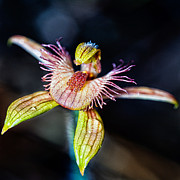 Australian Bee Prints - Dancing Spider Orchid Print by Paul Amyes