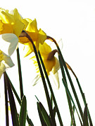 Pamela Patch Posters - Dancing With the Daffodils Poster by Pamela Patch