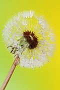 Dew Prints - Dandelion 2AM-114678 Print by Andrew McInnes