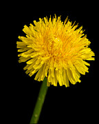 Mark Dodd - Dandelion Cradling the...