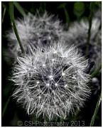 CSH Photography - Dandelion