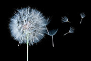 White On Black Prints - Dandelion Dreaming Print by Cindy Singleton