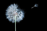 Dandelion Dreams Print by Cindy Singleton