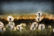 Daydreams Posters - Dandelion Dusk Poster by Cindy Singleton