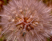 Weed Metal Prints - Dandelion Fireworks Metal Print by Rona Black