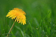 Karen Adams Metal Prints - Dandelion Flower Metal Print by Karen Adams