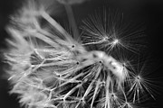 Dandy Posters - Dandelion Fly Away Black and White Poster by Jennie Marie Schell
