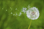 Wispy Posters - Dandelion in the Wind Poster by Diane Diederich