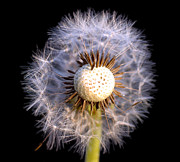 Mow Prints - Dandelion Print by Jt PhotoDesign
