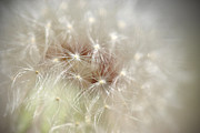 Kathy Williams-Walkup - Dandelion