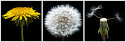 Weed Photo Metal Prints - Dandelion Life Cycle Metal Print by Steve Gadomski