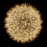 Light And Dark  Prints - Dandelion Macro Abstract Sepia Brown Print by Jennie Marie Schell