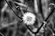 Dandelion Photos Framed Prints - Dandelion Framed Print by Marco Oliveira