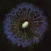 Kathy Clark - Dandelion Nebula