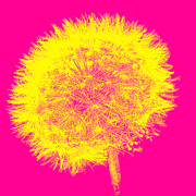 Emily Enz - Dandelion Pop Pink and...