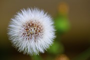 Parachute Ball Metal Prints - Dandelion Powder Puff Parachute Ball Metal Print by Jennifer Lamanca Kaufman