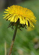 Sharon Miller - Dandelion Reaching For...