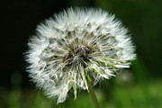 Flower Photos Prints - Dandelion Ready Print by Neal  Eslinger