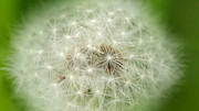Samantha Murray - Dandelion