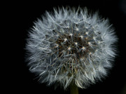 White On Black Prints - Dandelion Seed Head on Black Print by Sharon  Talson