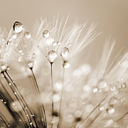 Nature Study Digital Art Prints - Dandelion Seed with Water Droplets in Sepia Print by Natalie Kinnear