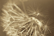 Light Taupe Prints - Dandelion Weed Sepia Print by Jennie Marie Schell