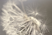 Light Taupe Prints - Dandelion Weed Soft Gray Brown Print by Jennie Marie Schell