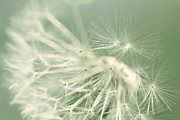 White And Green Framed Prints - Dandelion Weed Soft Green Framed Print by Jennie Marie Schell