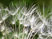 Extreme Digital Art Prints - Dandelion Wish Print by Christina Rollo