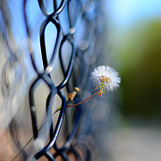 Whimsy Photos - Dandelion Wish by Laura  Fasulo