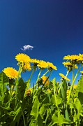 Ble Sky Posters - Dandelions Poster by Michal Bednarek