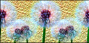 Colorful Dandelions Framed Prints - Dandelions Turned To Seed Close Up Framed Print by Daniel Janda