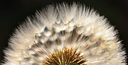 Dandelion Prints - Dandy Print by Jeff Klingler