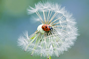 Ladybird Photos - Dandy lady by Jacky Parker