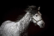 Friesian Posters - Dappled Grey D4562 Poster by Wes and Dotty Weber
