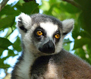 Margaret Saheed - Dappled Light Lemur
