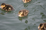 Mallard Ducklings Photos - Daring Ducklings by Sharon McLain