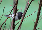 Native Plant Posters - Dark-eyed Junco Poster by Angie Vogel