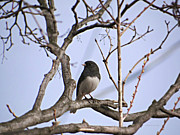 Brenda Conrad - Dark-eyed Junco