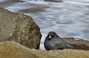 Bruce Patrick Smith - Dark Eyed Junco