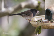 Charlie Duncan - Dark-eyed Junco