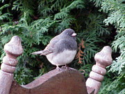 Corinna Garza - Dark Eyed Junco