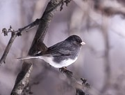 Daphne Sampson - Dark eyed Junco