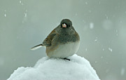 Bird In Snow Prints - Dark-Eyed Junco in the Snow Print by Sandy Keeton