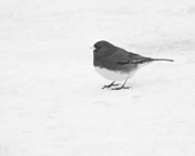 Anita Oakley - Dark-Eyed Junco in Winter