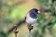 Laura Mountainspring - Dark Eyed Junco