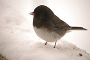 Wildlife Photos - Dark eyed Slate Colored Junco by Mark McReynolds