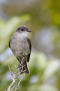 Flycatcher Metal Prints - Dark Faced Ground Tyrant on a Perch Metal Print by Tim Grams
